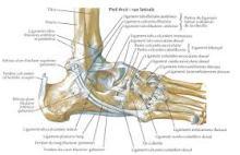 pied_anatomique
